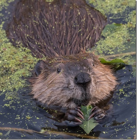 beaver eating cottonwood leaf on Oct 4th 2015[2].jpg