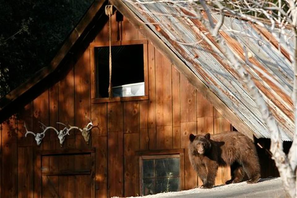 221California Drought-Bears.jpeg