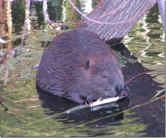 BeaverPix.jpg